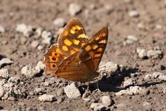 Canary Speckled Wood - Pararge xiphioides (Roger Wasley) Tags: canaryspeckledwood parargexiphioides butterfly butterflies endemic lapalma elpaso grancanaria tenerife spain spanish europe european