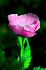 Amapola (jagar41_ Juan Antonio) Tags: flores flor flora floración amapolas