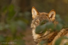 Wolf Masquerade (Renate van den Boom) Tags: 11november 2016 biotopwildparkanholterschweiz duitsland europa jaar maand renatevandenboom wolf zoogdieren