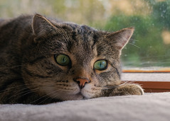 November ..... what a boring month ! (FocusPocus Photography) Tags: sethi katze kater cat chat gato tier animal haustier pet feline tabby gelangweilt bored