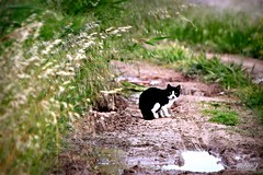 ___ Il gatto sospettoso! ___ (erman_53fotoclik) Tags: canon eos 500d gatto animale felino mammifero nero bianco erba strada sterrata fango pozzanghera acqua erman53fotoclik cattura