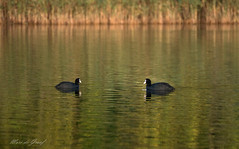 Let's swim togheter?! (Marc de Graaf) Tags: swim autumn colors birds