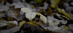Autumn (oliko2) Tags: autumn leaves ground depthoffield dof d7100 35mm flckigerseee freiburg germany fall