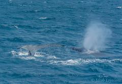 Humpback Whale (JLoyacano) Tags: australia jacobloyacano ocean views blowhole breach brushfire bushfire calf cetacean fire humpback humpbackcalf humpbackwhale landscape marinelife marinemammal moonshadow moonshadowcruise portstephens shoalbay spout tasmansea water whale whalewatching