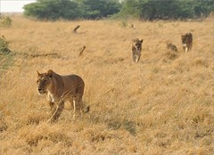 . (me*voil) Tags: namibia wildlife landscape lions lioness cubs etosha