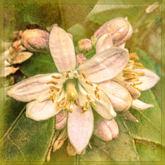 Orange Blossoms (boeckli) Tags: flowers orange blumen blten bloom blossom blossoms blooms textures texturen texture textur shadowhousecreations photoborder rahmen plant plants pflanzen orangeblossom outdoor