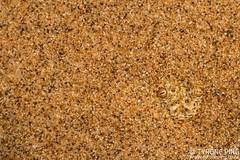 Bitis peringueyi - Peringueys adder. From Swakopmund, Namibia. (Tyrone Ping) Tags: bitis peringueyi swakopmund namibia peringueys adder dwarf desert namib africa wwwtyronepingcoza dunes venomous snakes macro canon7d 100mmmacrof28 l series