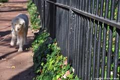 Happy Fence Friday (Trish Mayo) Tags: dog walkingthedog fence georgetown washington dc