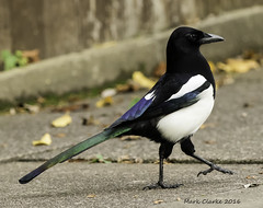 Best foot forward. (Nobby1968) Tags: magpie colourful corvid stepping nature wildlife canon 7d mk11