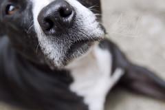 Nina (Amy Zarah) Tags: rescue dog up animal close amy bull adopt staffie staffordshire zarah rehome terrir