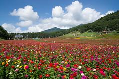 Zinnia (bamboo_sasa) Tags: flower japan town 日本 zinnia 花 nagano shinshu 長野 fujimi 百日草 信州 富士見町