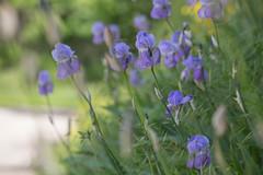 (S.Hence :-) Germany) Tags: flower urlaub blume toskana schrfentiefe