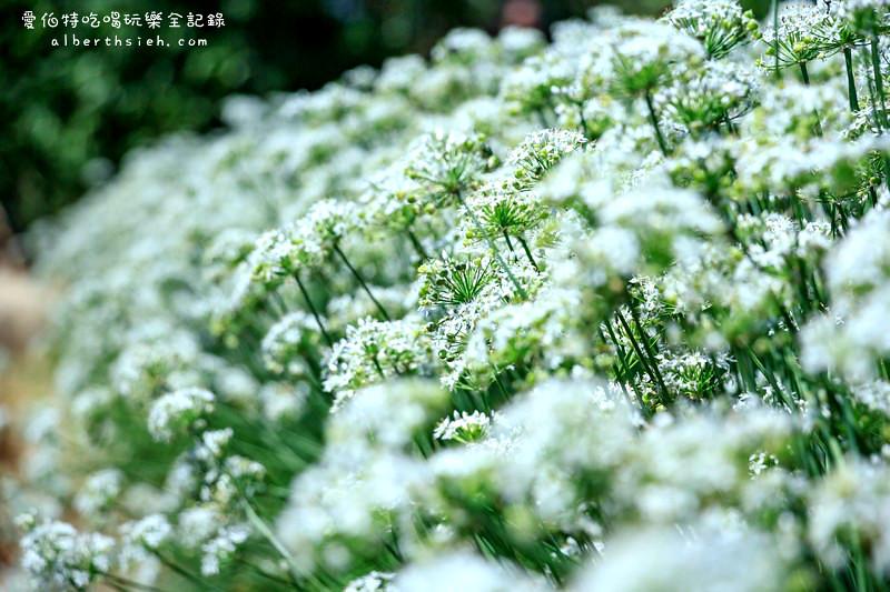 桃園大溪.韭月雪