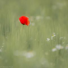 ...thinking of you... (Thomas Frejek) Tags: de deutschland lonely nordrheinwestfalen einsam mohn cornpoppy klatschmohn 2015 papaverrhoeas vlotho