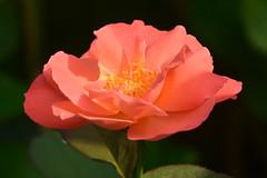 20150730_029_4 (まさちゃん) Tags: 花 薔薇 花粉 バラ 雄蕊 雄しべ 雌蕊 雌しべ