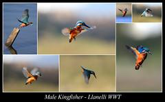 Kingfisher Collage 3 (JDPhotography -) Tags: birds kingfisher waterfowl wwt waterbirds johndavies llwynhendy penclacwydd wwtwales jdphotography wwtllanelli picasa3 llanelliwwt malekingfisher copyrightjohndavies wwtnationalwetlandscentrewales waleswwt waleswildfowlwetlandscentre