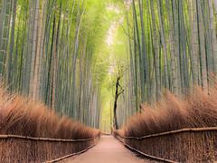 Bamboo Forest (v-_-v) Tags: tree green japan fence kyoto asia path arashiyama jp gras bambooforest kyōtoshi kyōtofu