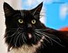 IMG_7616a_c (JANY FEDERICO GIOVANNINETTI) Tags: hairy cats cat hair eyes funny soft sweet expressions occhi international felini gatto gatti divertenti pelosi pelo dolci pedigree internazionale sguardi espressioni razza soffice soffici