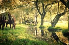 le paradis pour des chevaux heureux! (Marie Jestin) Tags: horse cheval bretagne britanny trees reflextion onlythebestofflickr platinumheartaward magicmomentsinyourlifelevel4 meadow park landscape nature natura reflection