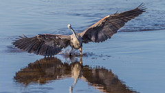 Great Blue Heron-9963-4 (dennis.zaebst) Tags: usa birds florida 500 sanibel greatblueheron naturethroughthelens 1dmarkiv darlingnwr