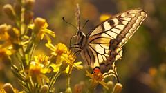 Swallowtail (Coquine!) Tags: yellow butterfly gelb borboleta mariposa swallowtail schmetterling schwalbenschwanz papiliomachaon lepidottero christianleyk