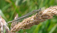 White-legged Damselfly (Nige's Place) Tags: somerset odonata damsellfly whiteleggeddamselfly