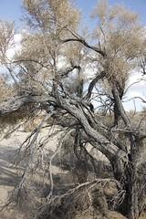 Smoke Tree Wash (Joshua Tree National Park) Tags: joshuatree joshuatreenationalpark