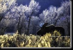 Backlit Bull Moose, Grand Teton Park (Daryl L. Hunter - Hole Picture Photo Safaris) Tags: daryllhunter unitedstates usa moose grandtetonnationalpark jacksonhole wildlife nature wyoming eveninglight backlight trophy sagebrush cottonwoods afternoon autumn