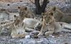 Lion pride (Wild Chroma) Tags: leo lion namibia etosha panthera pantheraleo