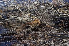 North American Beaver (Castor canadensis) DDZ_3038 (NDomer73) Tags: 21october2015 october 2015 tetons mammal northamericanbeaver beaver lowerschwabacherlanding schwabacher schwabacherlanding grandtetonnationalpark grandteton