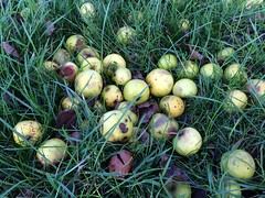 Windfalls (dark_dave25) Tags: new november cold sunny national trust sloes 2015 lyveden bield