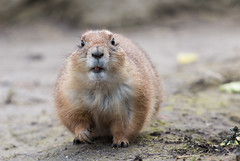 Prairiehond (Prairie Dog) 0371 (bzd1) Tags: nature animal blijdorp natuur animalia mammalia rodentia prariedog sciuridae prairiehond chordata zoogdieren knaagdieren eekhoorns xerinae chordadieren ctnomys
