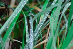 IMG_0678 (Jay_93) Tags: outdoor natur pflanzen gras makro morgentau
