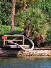 Sabal Palm Growing in Circle (johnandmary.F) Tags: ocalafl silverspringsstatepark artisansprings