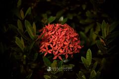 500px-6843 (rsmeedia) Tags: flower nikon nikonclubmalaysia nikonofficials nikonmalaysia nikond7100 d7100 sigma sigma1750mm 1750mm nature red