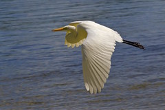 IMG_8063_against the wind... (lada/photo) Tags: egret waterbird inflight ladaphoto