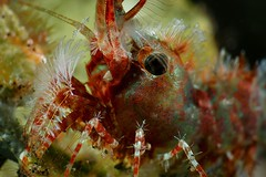 Marbled shrimp closeup (Luko GR) Tags: indonesia bali tulamben nightdive diving underwater macro critters muck nature saronmarbledshrimp crustacea supermacro