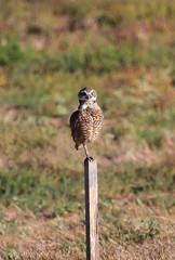 Burrowing Owl (jricecameron) Tags: jubileechristiancenter santaclaracounty california burrowingowl