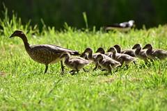 Come along now kids (Luke6876) Tags: australianwoodduck woodduck duck bird animal wildlife australianwildlife ducklings family