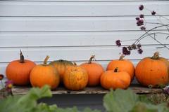 pumpkins (The Garden Smallholder) Tags: pumpkins garden smallholder thegardensmallholder harvest gardening veggarden allotment vegetablegarden growyourown october
