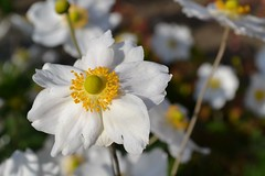 white flower (2) (kerrylockwood1) Tags: white yellow flowers plant macro photography bright sunny