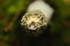 phallus impudique 6 (hhureaux) Tags: phallus impudique champignon