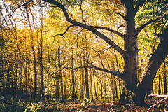 Magnificent Oak (Elizabeth Sallee Bauer) Tags: 56years horizontal nature adventure autumn beautyinnature boy child childhood climbing evening exploring fall forest nonurbanscene oneboyonly outdoors outside playing scenics tree trees wood woods