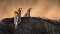 Oxpeckers (Sue MacCallum-Stewart) Tags: buffalo kenya maasaimara oxpeckers wildbird bird nature africa entimcamp