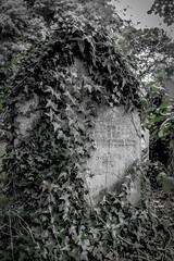 Nearly gone (#Weybridge Photographer) Tags: adobe lightroom canon eos dslr slr 40d brompton cemetery west london kensington graveyard autumn ivy creep creeping hide hidden