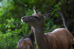 Red Deer  |  Rotwild (Natural Photography by CJH) Tags: rotwild reddeer red deer natural wildlife nature wild nikon d750 telephoto 300mm pf f4 300mmf4 300f4 nikkor teleconverter tc17eii pfedvr
