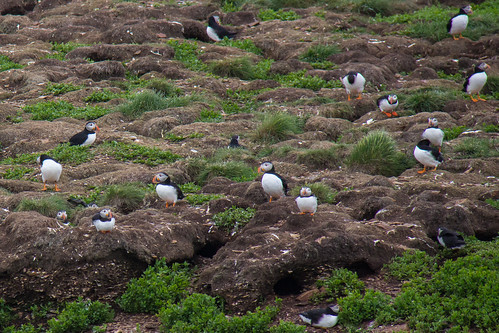 Puffins at Elliston 5