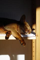 Life is good (DizzieMizzieLizzie) Tags: abyssinian aby beautiful wonderful lizzie dizziemizzielizzie portrait siesta cat chats feline gato gatto katt katze katzen kot meow mirrorless pisica sony a6000