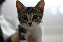 baby cat (fragile_dreams) Tags: babycat baby cat kitty kedi sweet cool canon 600d 50mm animal animals cats eyes eskisehir eskiehir