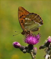 Male Silver-Washed Fritillary - nectaring on thistle (glostopcat) Tags: silverwashedfritillarybutterfly butterfly insect invertebrate glos wildflowers thistle summer coopershillwood cotswoldcommonsbeechwoodsaonb naturalengland